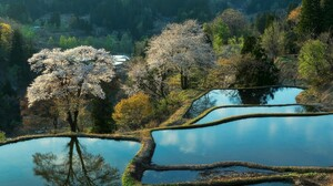Rice Paddy Trees Terraced Field Spring Blossoms 1920x1080 Wallpaper