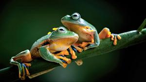 Tree Frog Cute 1920x1200 Wallpaper