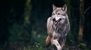 Wildlife Wolf Predator Animal 2048x1365 Wallpaper