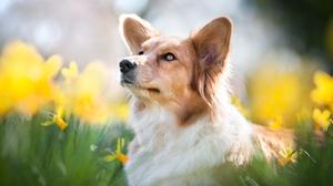 Blur Corgi Daffodil Dog Pet 2048x1363 Wallpaper