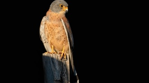 Animal Kestrel 2400x1600 Wallpaper