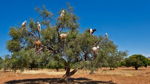 Nature Trees Goats Eating Grass Rocks Clear Sky Argan Morocco 1920x1080 wallpaper