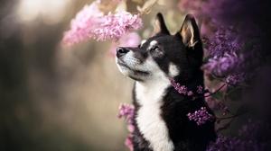 Dog Flower Husky Lilac Pet 2048x1365 Wallpaper