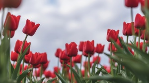 Close Up Flower Nature Red Flower Tulip 2048x1366 Wallpaper