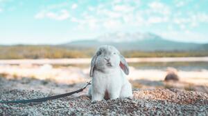 Bunny Ears Rabbits Nature Pet Animals Mammals Outdoors Leash 6000x4000 Wallpaper