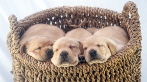 Baby Animal Basket Cute Dog Labrador Retriever Pet Puppy 3974x2288 Wallpaper