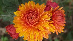 Earth Chrysanthemum 1920x1440 wallpaper