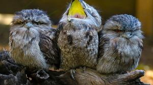 Bird Funny Tawny Frogmouth 5472x3648 Wallpaper