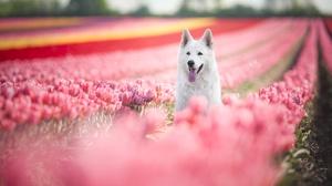 Dog Pet Depth Of Field Flower Tulip Pink Flower 2048x1363 wallpaper