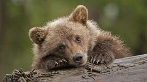 Baby Animal Bear Cub Wildlife 2048x1354 Wallpaper