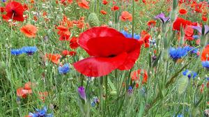 Blue Flower Flower Meadow Nature Poppy Red Flower Summer 2048x1365 Wallpaper