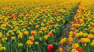 Colorful Earth Field Flower Tulip Yellow Flower 2750x1400 Wallpaper