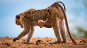 Apes Animals Mammals Baby Animals Monkey Nature 2880x1920 Wallpaper