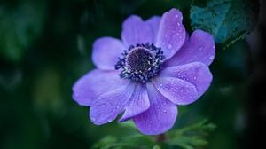 Nature Flowers Plants Purple Flower Water Drops 5854x3903 Wallpaper