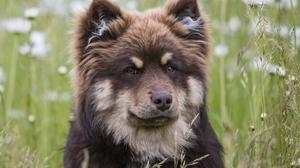Muzzle Finnish Lapphund Pet 2560x1600 Wallpaper