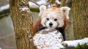 Red Panda Wildlife 2880x1920 Wallpaper