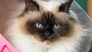 Pet Stare Burmese Cat Fluffy Blue Eyes 3000x2000 Wallpaper