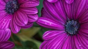 Daisy Flower Osteospermum Purple Flower 1900x1181 Wallpaper
