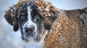 Dog Pet Snow St Bernard Winter 3336x2222 wallpaper