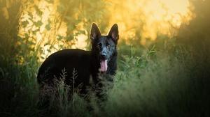 Dog German Shepherd Pet 2048x1434 Wallpaper