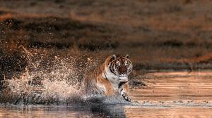 Big Cat Splash Tiger Wildlife Predator Animal 2048x1216 wallpaper