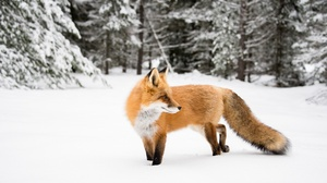 Fox Wildlife Winter 2400x1602 wallpaper
