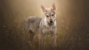Baby Animal Czechoslovakian Wolfdog Dog Pet Puppy Wolfdog 2048x1365 Wallpaper