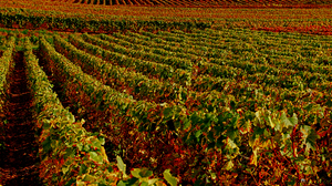 Fall Vineyard 3355x2246 Wallpaper