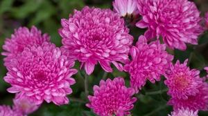 Chrysanthemum Pink Flower 2880x1800 wallpaper