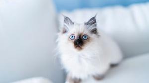 Blue Eyes Burmese Cat Kitten Pet 2048x1365 Wallpaper