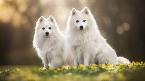 Depth Of Field Dog Flower Pet Spitz 2048x1365 Wallpaper