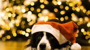 Muzzle Dog Santa Hat 2560x1707 wallpaper