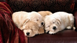 Animal Baby Animal Cute Pet Puppy Sleeping 1920x1200 Wallpaper