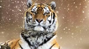 Animal Big Cat Siberian Tiger Snowfall Tiger Wildlife Winter Predator Animal 2048x1365 Wallpaper