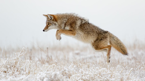 Coyote Jump Snow Wildlife Winter 2048x1365 Wallpaper