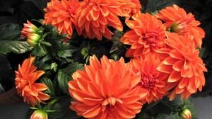 Dahlia Earth Flower Orange Flower 3200x2260 wallpaper