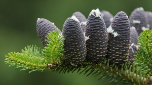 Macro Branch Fir Pine Cone 2048x1273 wallpaper