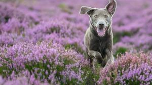 Dog Heather Pet Pink Flower 2047x1365 Wallpaper