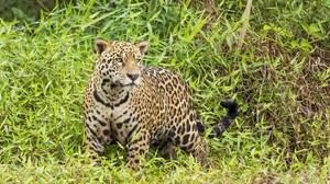 Wildlife Nature Feline Big Cats Mammals Jaguars 4046x2690 Wallpaper