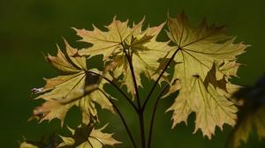 Maple Leaf 6000x4000 Wallpaper
