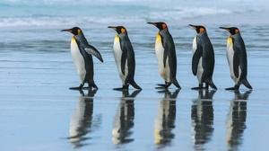 Penguin Reflection Wildlife 2500x1669 Wallpaper