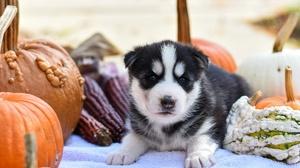Dog Baby Animal Pet Puppy Pumpkin Siberian Husky 6000x4000 Wallpaper