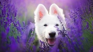 Dog Lavender Pet Purple Flower White Shepherd 2048x1366 wallpaper