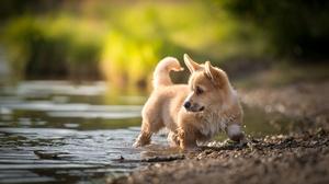 Baby Animal Corgi Dog Pet Puppy Water 2048x1303 Wallpaper