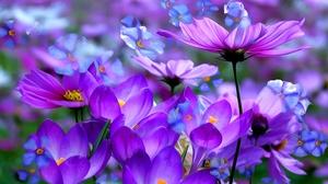 Close Up Cosmos Crocus Flower Painting Purple Flower 1920x1200 Wallpaper