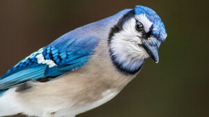 Animal Bird Blue Jay Close Up 4174x2783 Wallpaper