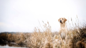 Dog Labrador Retriever Pet 2560x1709 Wallpaper
