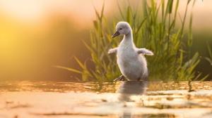 Chick Baby Animal Bird 2500x1666 Wallpaper