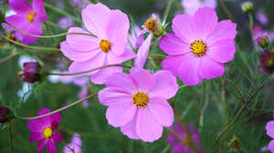 Cosmos Earth Flower Purple Flower 2000x1333 Wallpaper