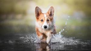 Corgi Dog Pet Splash 2000x1335 Wallpaper